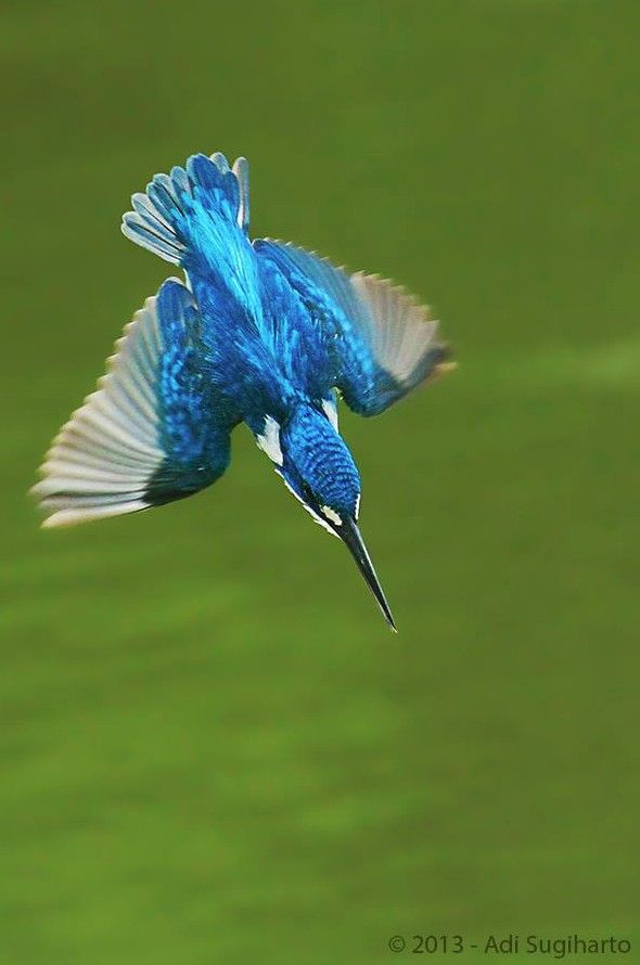 Small Blue King Fisher