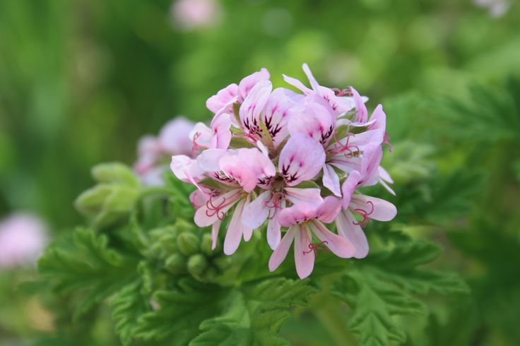 Gitanilla o Geranio de Hiedra - Pelargonium peltatum // Fam: Geraniaceae // Floración: de primavera hasta otoño // Originaria de Sudáfrica // Fuente: http://fichas.infojardin.com/perennes-anuales/pelargonium-peltatum-gitanilla-geranio-hiedra.htm