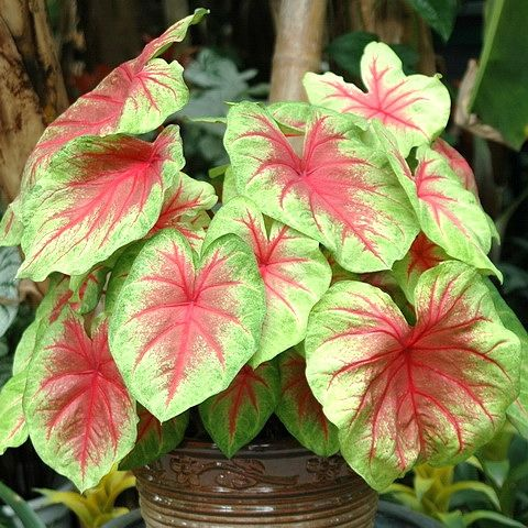 400 best caladiums elephant ears images on pinterest plants patio plants and elephant ear plant. Black Bedroom Furniture Sets. Home Design Ideas
