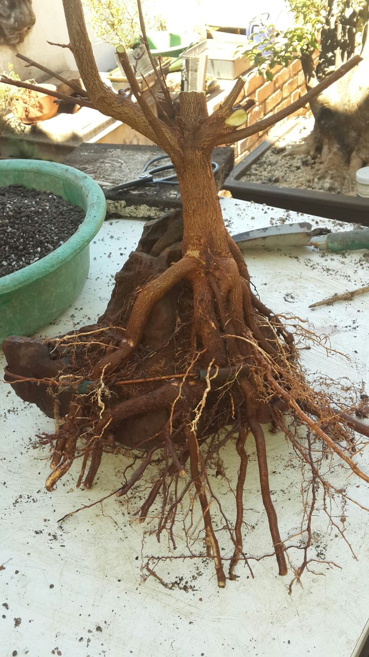 Root over rock trident  2 yrs in the ground just removed and washed 2017