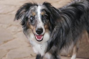 MINI AUSSIE-Harley is an adoptable Australian Shepherd Dog in Azle, TX. Harley is a beautiful 10 month old larger Mini Aussie in height however, only 22 lbs.  She will need at least 5-8 more pounds to...