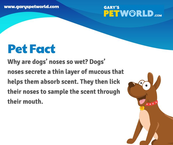 Why are dogs' noses so wet? Dogs' notes secrete a thin layer of mucous that helps them absorb scent. They then lick their noses to sample the scent through their mouth. #petfact #pets #petworldie