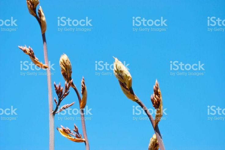 New Zealand Flax (Harakeke) Plant Background royalty-free stock photo