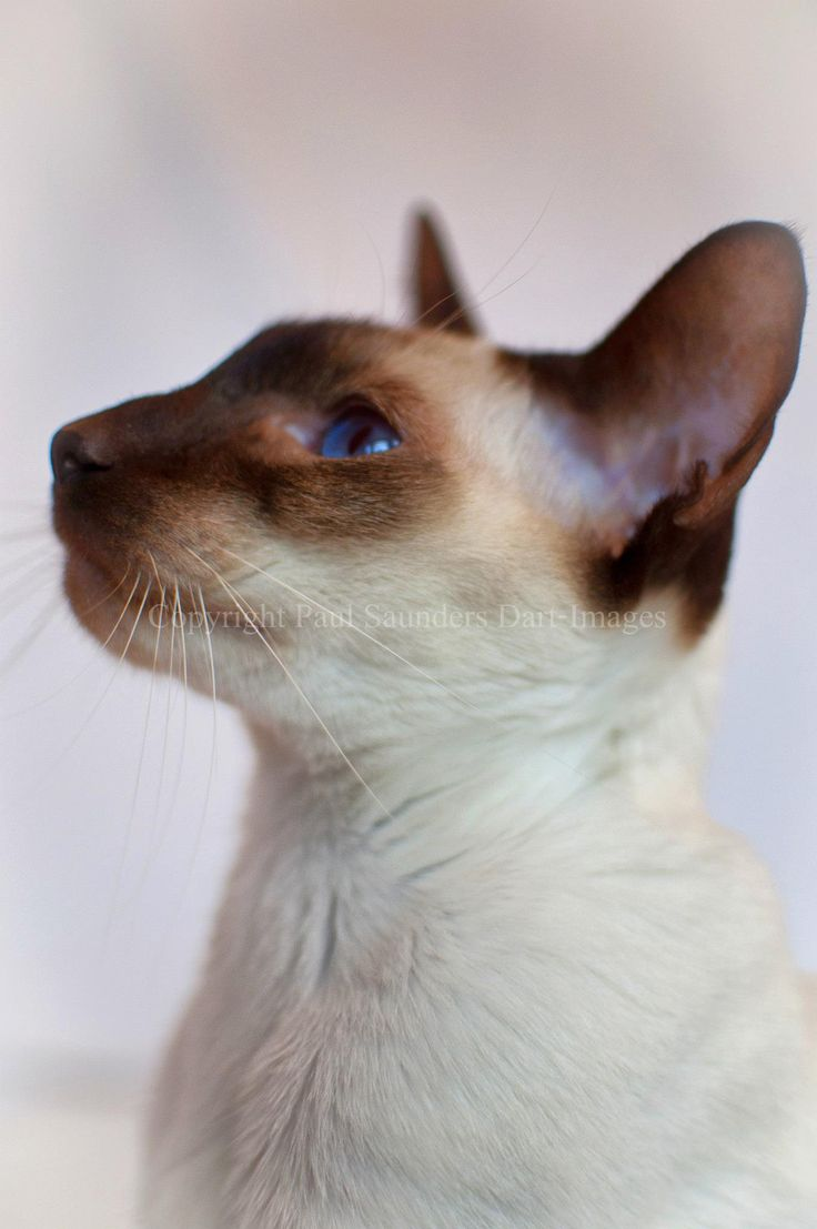 874 best Cat Breeds and Species at The Great Cat images on