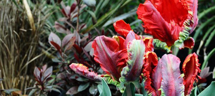 チューリップ ロココ Tulipa 'Rococo' – ACID NATURE 乙庭