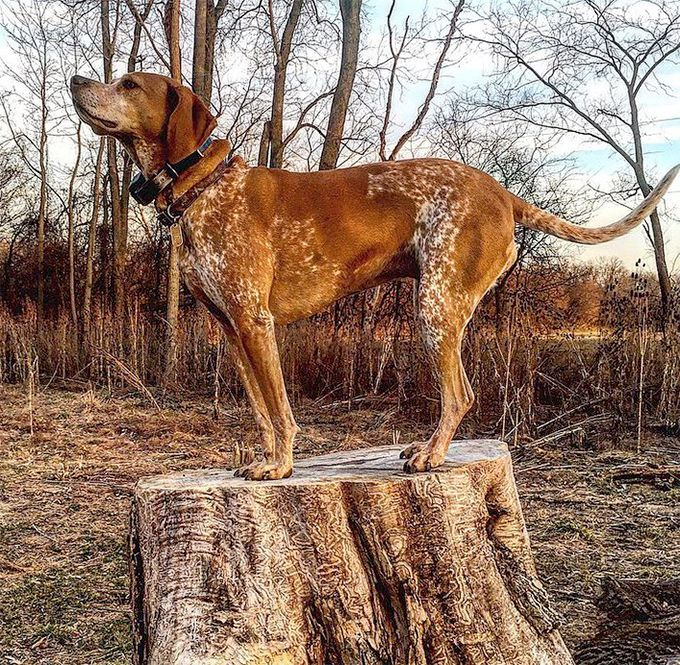 American English Coonhound Dog Breed Picture