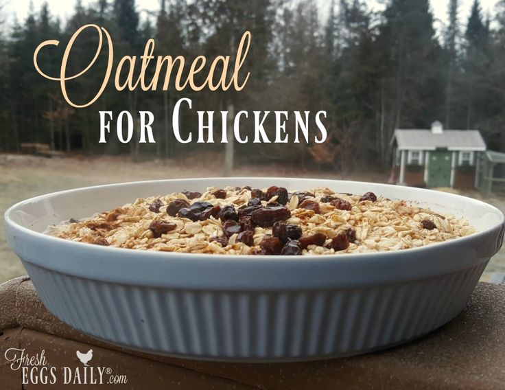 Oatmeal for chickens is a nutritious warming treat for a backyard flock
