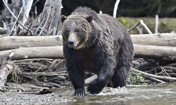 New Democratic Party Promises to Ban Trophy Hunting of Grizzly Bears in British Columbia - The New Democratic Party has introduced legislation to ensure that there is sufficient funding for wildlife and habitat conservation in the province. http://www.coastmountainnews.com/news/410415635.html