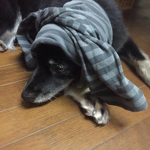 台風の影響で雨が降り出しました。 ニンゲンにはただの雨なのに ウロウロオドオドのASさん。 Tシャツを三つ折りして ほおかむりさせたら ウロウロやめた。 ただ、いつもは絶対入らない 先代犬の寝床の場所です。 雷⚡️とかの時だけ寄ってくる😅 #愛犬 #愛犬AS #ビビリ犬 #臆病犬