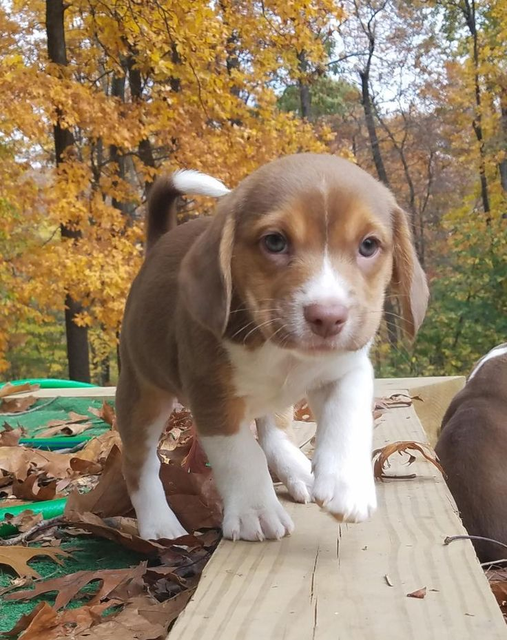 Pita is an adoptable Beagle searching for a forever family near Prince Frederick, MD. Use Petfinder to find adoptable pets in your area.