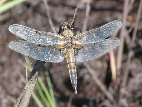 Four-spotted Chaser: spot the spots | Nature Notes from Dorset