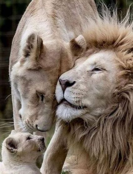 36 Ideas For Tattoo Lion Family Big Cats