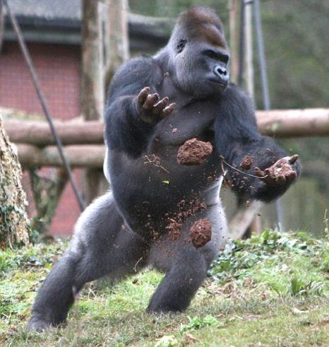 Angry Silverback Gorillas Imgs For > Angry Si...