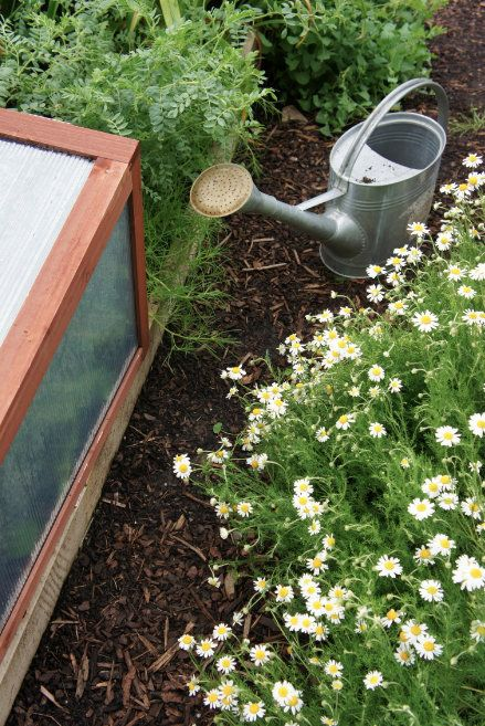 How To Grow Chamomile From A Tea Bag No Kidding