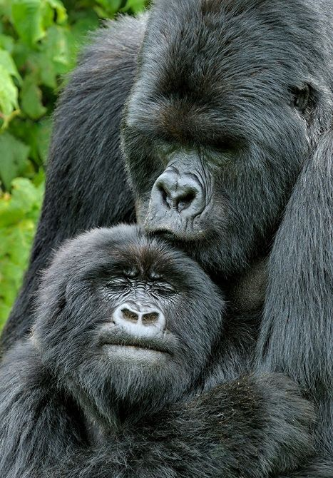 Ahh... A kiss from Mama makes everything all better.  (mountain gorillas)