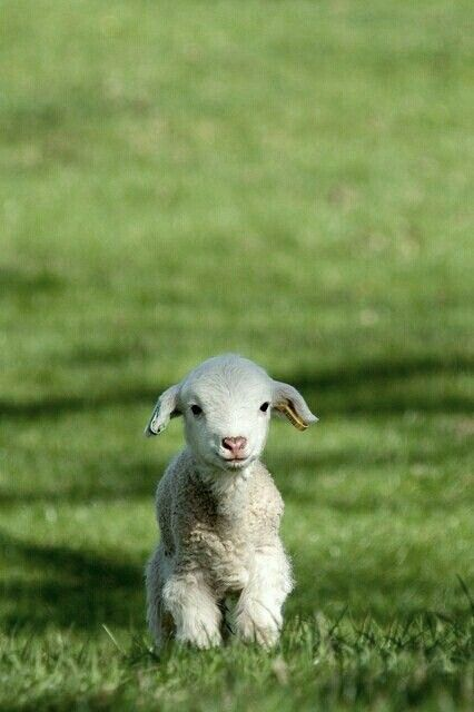 why aren't people like lambs? lambs don't know how to be mean, so why are we?