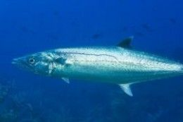 King mackerel fishing tips and techniques. Learn how to catch these speedy fighters here