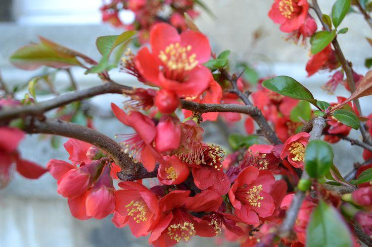 Chaenomeles speciosa (Flowering Quince) univ.ox.ac.uk