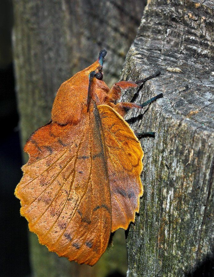 The Lappet, Gastropacha quercifolia, is a moth of the family Lasiocampidae. Found in Europe, and Northern and Eastern Asia, the wingspan is 50–90 mm