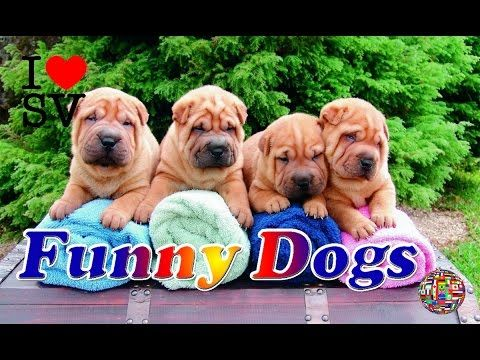 Funny Dogs - A Funny Dog Videos Compilation ★ Смешные Собаки - Смешное Видео Собак, Подборка -  #dog #funnydogs #puppy #doglover #animal #pet #cute #pets #animales #tagsforlikes Stop Your Dog's Behavior Problems! Click HERE to learn how! Funny Dogs – A Funny Dog Videos Compilation ★ Смешные Собаки – Смешное Видео Собак, Подборка [SV Life] Pls Like, Share, Comment and... - #Dogs