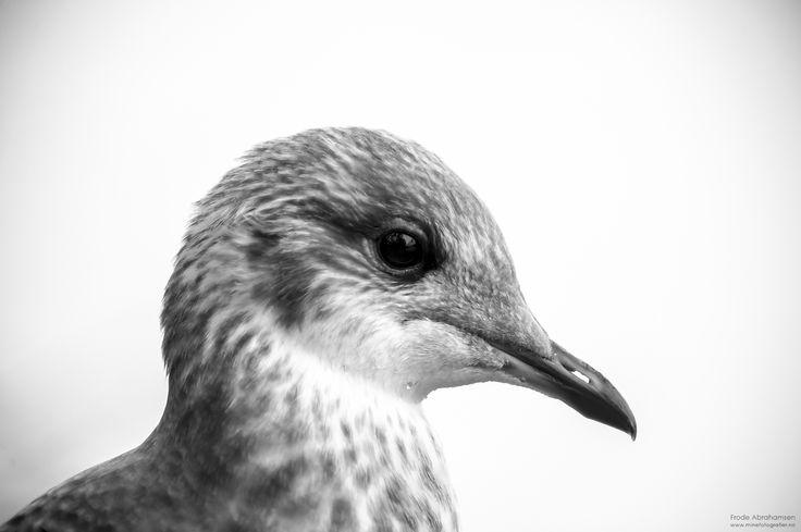 Måke, er usikker på hva slags måkeart. Fant den ikke i fugleboka, kan være en vanlig fiskemåkeunge.
