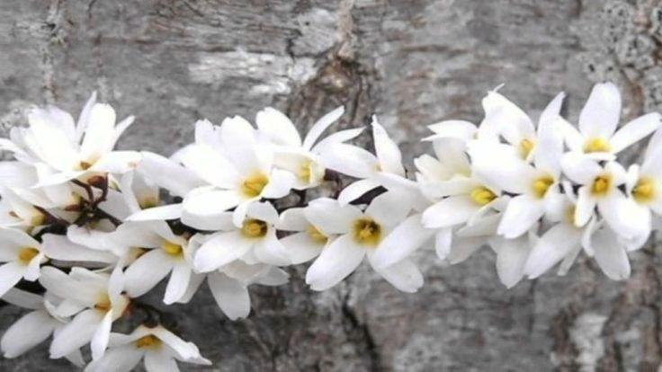 Abeliophyllum - A Deciduous Shrub
