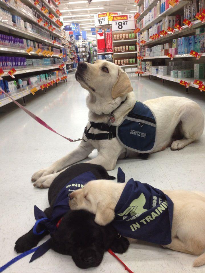 labrador puppies asleep at the job :)