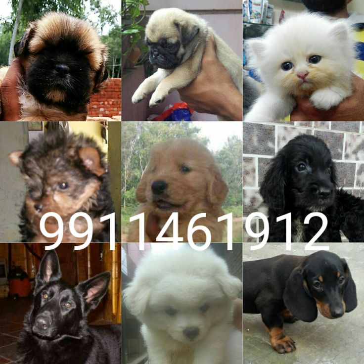Hi Everyone  I have All Type Dogs Breed Puppies  Available  for sell in Delhi 9711272629