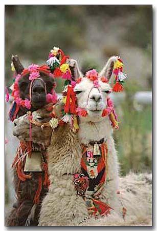 Fancy llamas #peru