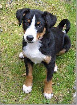 Appenzell Mountain Dog  (Appenzeller Sennenhund) (Appenzell Cattle Dog) (Appenzeller Sennenhunde)