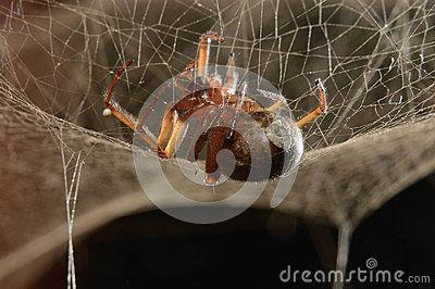 Araña Venenosa - Descarga De Over 35 Millones de fotos de alta calidad e imágenes Vectores% ee%. Inscríbete GRATIS hoy. Imagen: 24592332