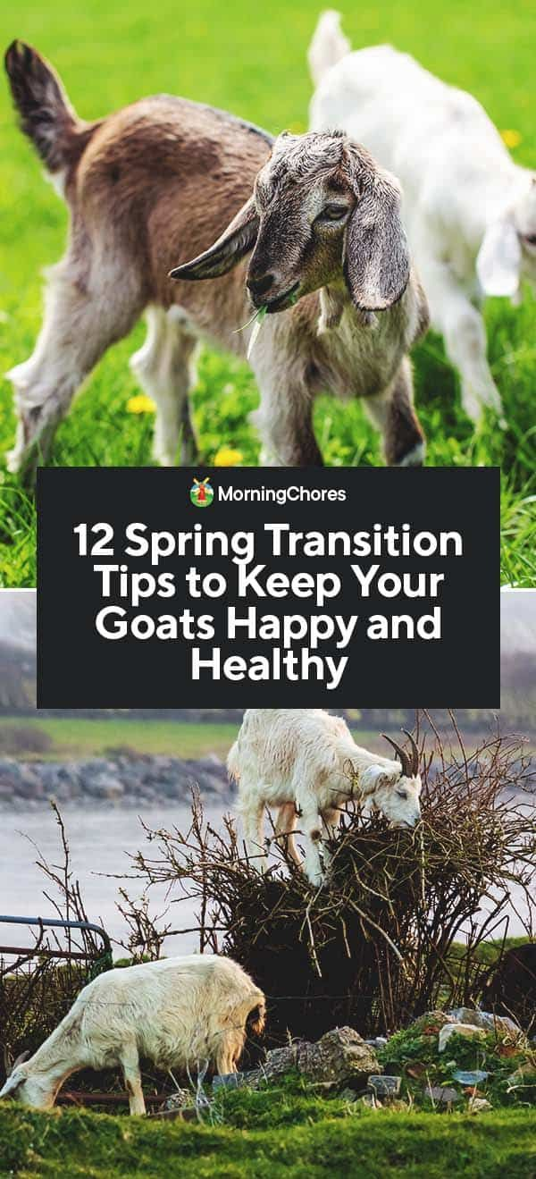 12 Spring Transition Tips To Keep Your Goats Happy And Healthy In 2020 Goats Spring Transition Goat Farming