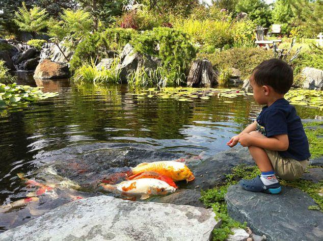 огорода пруды делают рыбы хранение весело, на открытом воздухе живой, прудах особенности воды, дети поражены дружной кои Эти изворотливые твари были достаточно смелы, чтобы выползти из воды для пищи, которая упала на скалу