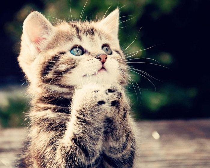 La manera como se introduce un gato a su nuevo ambiente es muy importante para que éste haga su adaptación lo mejor posible. Aquí te explicamos cómo hacerlo
