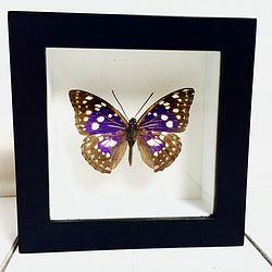 Vlinder in lijst Japanse Keizer. In deze lijst zit een Sakia Charonda vlinder. Deze vlinder komt voor in de bergen China, Korea en Japan waar het de nationale vlinder is.