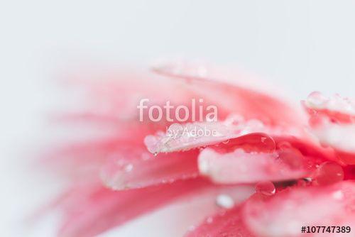 Drops on gerbera daisy