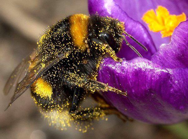 Trzmiel pokryty pyłkiem, fot. P7r7/ Wikipedia CC