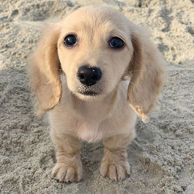 Who Me No I Wasn T Eating Sand Luna The Dox Mydogiscutest Dogs Cute Dogs Breeds Your Dog