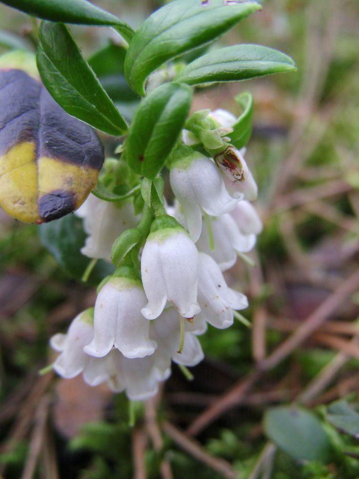 wyjątkowej urody kwiaty czerwonej borówki