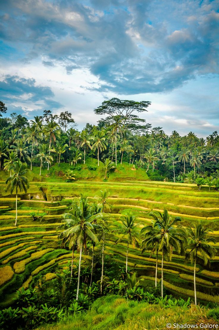 The rice terraces of Bali #travel