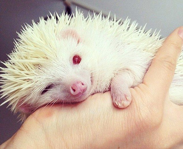 A bit of a handful: This albino hedgehog has become an internet star after its Japanese ow...