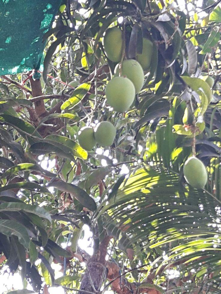alphanzo mango