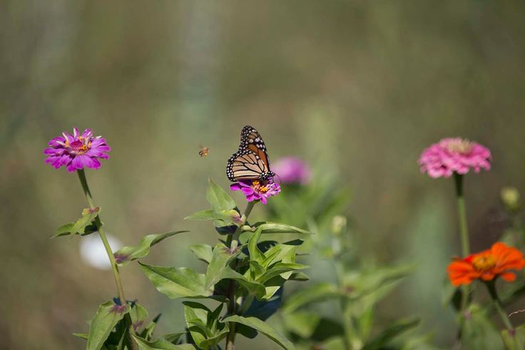Bee and Monarch Butterfly on Zinnia Flowers - Photo Print or Gallery Wrap by CapeCodPhoto on Etsy https://www.etsy.com/listing/251174168/bee-and-monarch-butterfly-on-zinnia