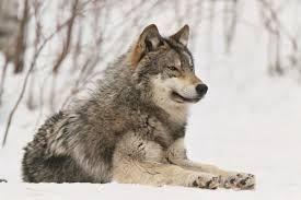 Afbeeldingsresultaat voor wolf