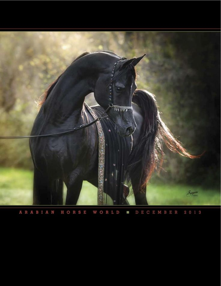 Black Egyptian Arabian stallion Bellagio RCA, December 2013 Arabian Horse World magazine cover. Arabians Ltd. #bellagiorca