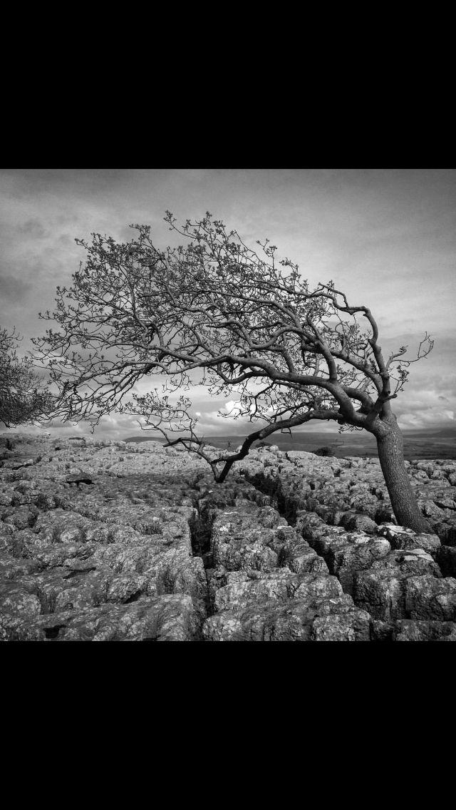 Running tree, farleton knot. England