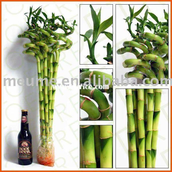Spiral dracaena Lucky Bamboo (Indoor house Aquatic plants)