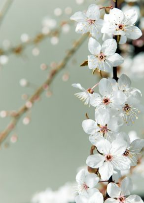 Cherry Plum - helps us to regain calm and to think rationally when we feel in danger of losing control, exploding in anger or close to breakdown.