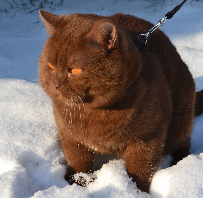Choco Cat in all his British Shorthaired Majesty. Fat soft chocolate baby!