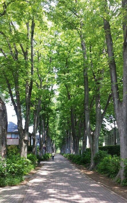 初夏の成蹊大学、欅並木。